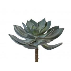 Суккулент Эхеверия Гиббифлора темно-зеленая