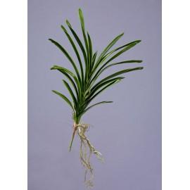 Листья орхидеи Ванды с корнями большие