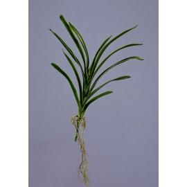 Листья орхидеи Ванды с корнями