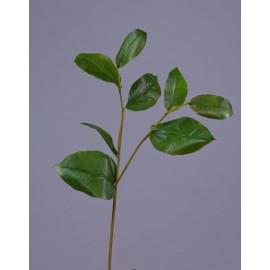 Ветвь Салала с зелеными листами