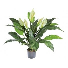Спацифилум в-70 см в горшке (5 цветков)