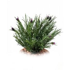 Трава Французская Лаванда куст цветущий пепельно-темно-зеленый 30 см