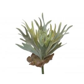 Папоротник Стегхорн (Оленьи рога) куст серо-зеленый припыленный 17 см