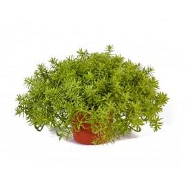 Дасти Миллер нежно-зеленый куст в горшочке 20 см