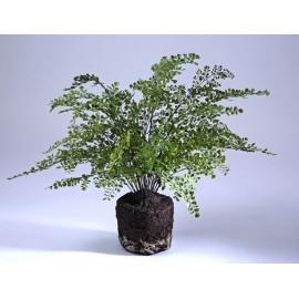Папоротник Адиантум куст в земле с корнями 65 см